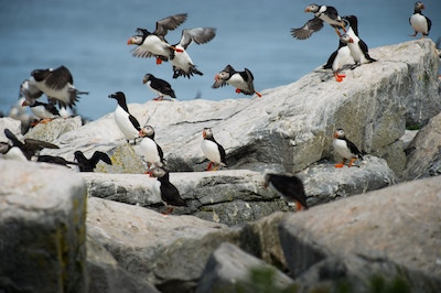 Puffins flying